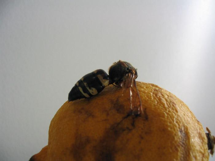 wasp image